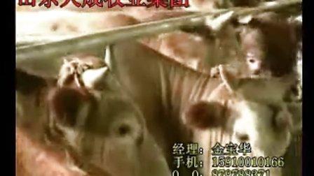 鲁西黄牛波尔山羊小尾寒羊利木赞牛西门塔尔牛养殖基地视频