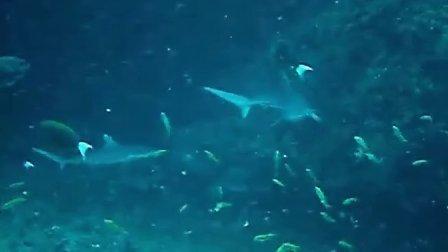 马尔代夫鲨鱼