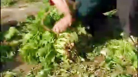 菠菜高產栽培技術 下集