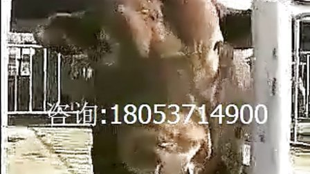 农村养牛圈养鲁西黄牛养殖技术视频