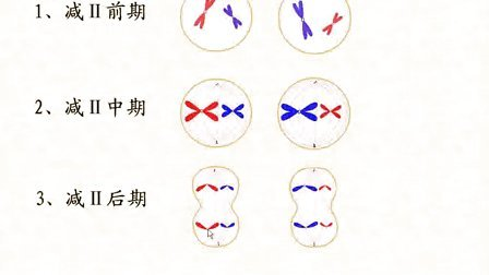 汉水丑生  高中生物 必修二 减数分裂全集(新课习题课解题技巧)