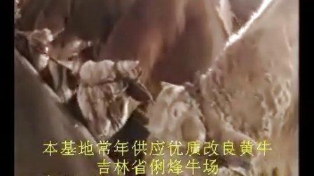 榆树牛市场榆树黄牛市场榆树黄牛养殖业视频