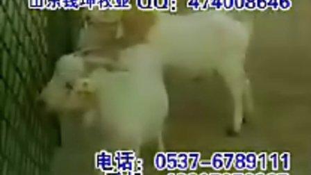 怎样养羊如何养殖波尔山羊视频