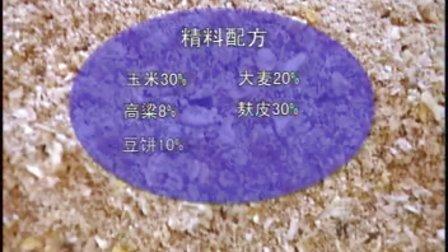 西门塔尔牛的养殖技术视频