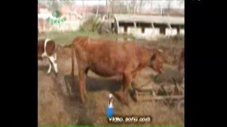 山东大型养牛场视频