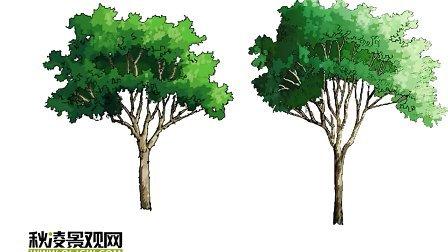 景观设计电脑手绘 常绿树绘制05 ps电脑手绘
