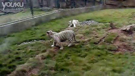 长沙野生动物园老虎打架
