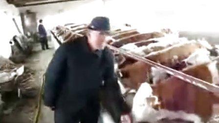 肉牛养殖新疆肉牛养殖场西门塔尔牛肉牛养殖菏泽肉牛养殖合作社视频