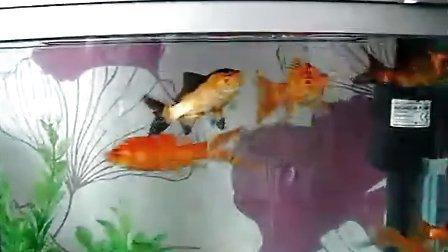 我家的锦鲤鱼