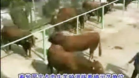 山东养牛基地肉牛养殖技术视频