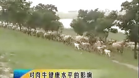 养牛技术肉牛养殖视频