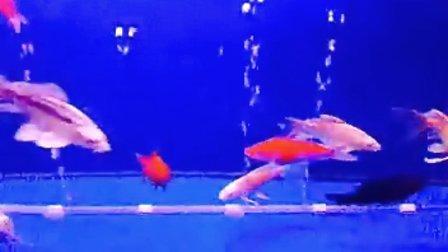 我家的锦鲤鱼!