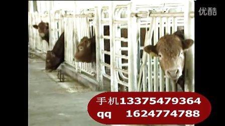 国外引进肉牛品种西门塔尔牛养殖技术养牛视频