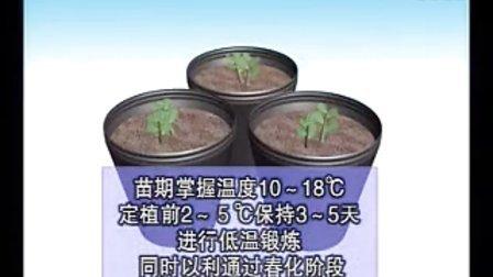 鮮食豌豆的高效栽培技術