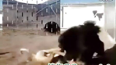 藏獒打架视频 狮子和藏獒打架图片 藏獒和老虎打架图 藏獒高清图片