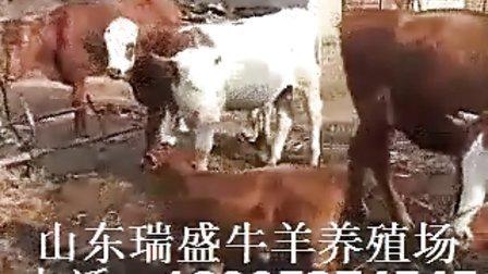 肉牛养殖母牛的饲养管理技术视频