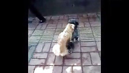 狗狗也时髦宣武门外惊现俩爆强狗狗