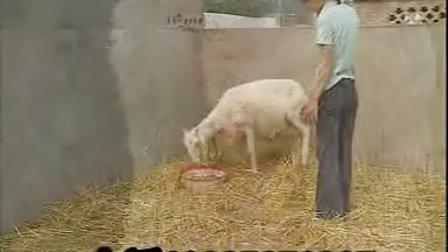 小尾寒羊�B殖技�g,新版西耀星和北辰星�B羊技�g改���l