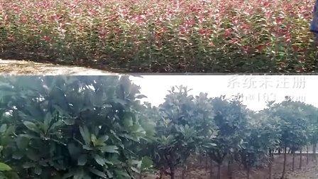 安徽三岗绿化苗木供应:红叶李、大叶女贞、香樟、紫薇、广玉兰、石楠等绿化苗木