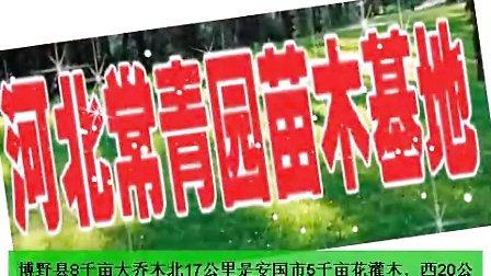 刺槐,全国最好的刺槐,河北刺槐供应手机:13833028112——河北苗木刺槐