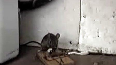 老鼠夹不给力 老鼠偷食猖獗