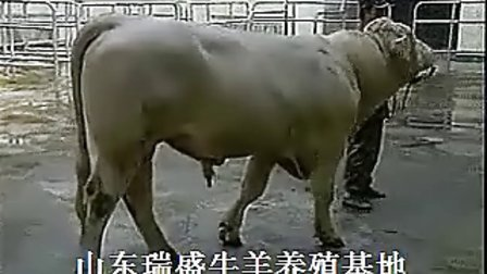 育肥牛日常饲养技术鲁西黄牛养殖场视频