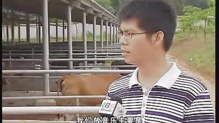 高档牛肉和牛肉海南和牛雪花牛送礼佳品黑牛肉和牛养殖和牛饲料配方养殖小区示范区和视频