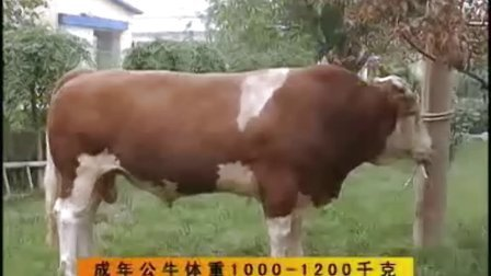 肉牛饲养技术养牛都吃哪些饲料西门塔尔牛养殖利润视频