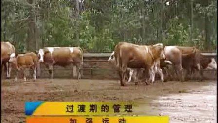 西门塔尔小牛犊价格指导西门塔尔牛肉牛犊养殖场视频