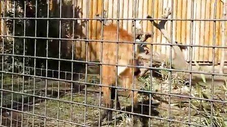上野动物园 长腿狼