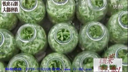 桂林豐潤萊生物科技鐵皮石斛非常適合旱區種植的名貴中草藥品種