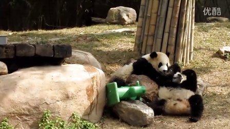 香江野生动物园熊猫打架