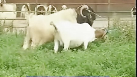 畜牧业:如何养殖波尔山羊的技术方法