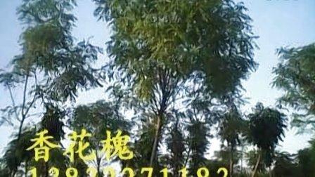 苗木基地  凤凰传奇 长期供应速生柳 垂柳 火炬树 法桐 国槐 榆树 香花槐