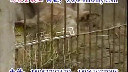 犊牛的饲养技术视频