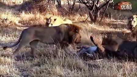 动物世界,非洲狮