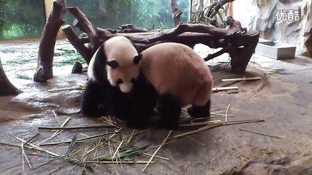 长隆动物园熊猫打架