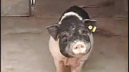 广西陆川猪视频养殖技术视频生态闰盼盼图片