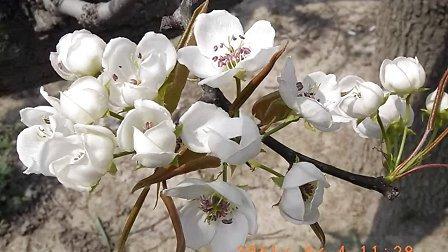 《梨花颂》京剧