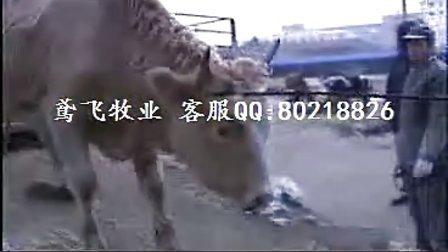 架子牛养殖技术肉牛饲养管理肉牛养殖场视频