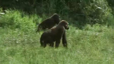 动物世界【系列片野生动物的故事】【大猩猩】