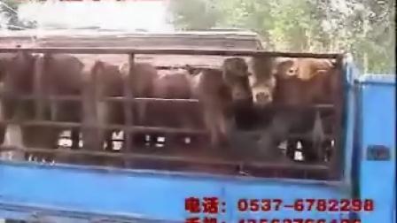 鲁西黄牛养殖技术鲁西黄牛山东鲁西黄牛鲁西黄牛养殖鲁西黄牛价格纯种鲁西黄牛视频