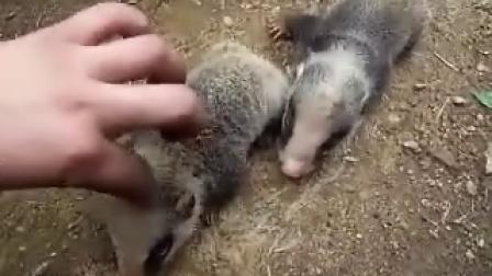 村民抓来的小野猪