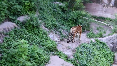 北京动物园老虎
