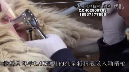 羊同期发情技术之母羊人工授精视频
