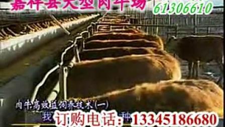 养牛技术发酵床养牛技术养牛利润肉牛养殖基地视频