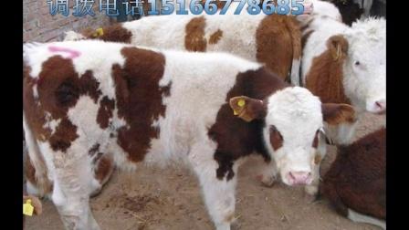 肉牛,鲁西黄牛,西门塔尔牛,夏洛莱牛,利木赞牛养殖视频