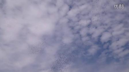 北京/北京俊祥赛鸽公棚8.7家飞视频