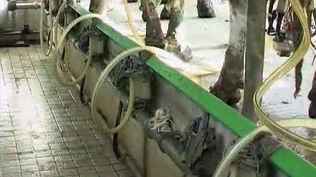 提高奶牛养殖效益技术�D�D挤奶视频