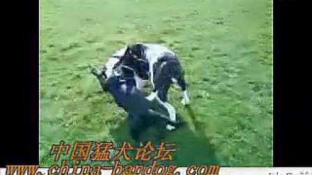 斯塔夫大战美国斗牛犬视频_标清